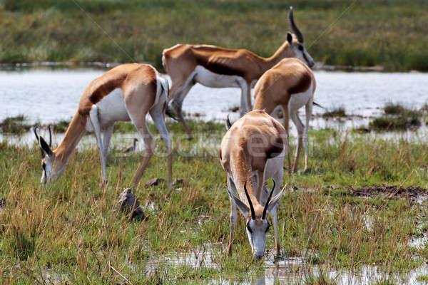 Troupeau parc Namibie eau nature cerfs Photo stock © artush