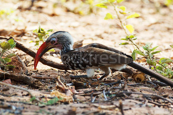 Yellow-billed Hornbill on ground Stock photo © artush