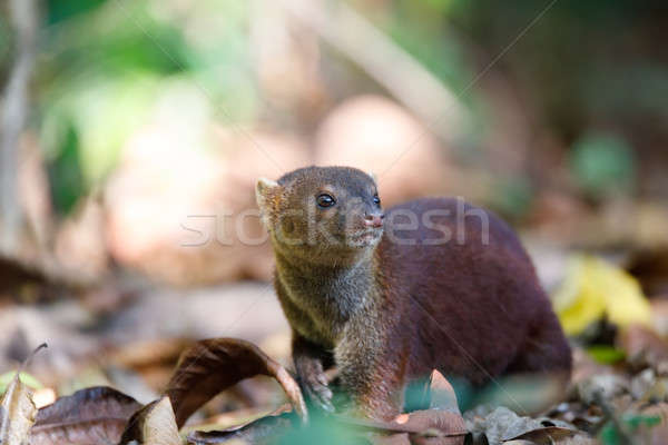 Stock photo: Ring-tailed mongoose (Galidia elegans) Madagascar