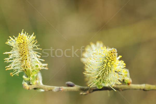 pussy willow (Salix caprea, male catkins) Stock photo © artush
