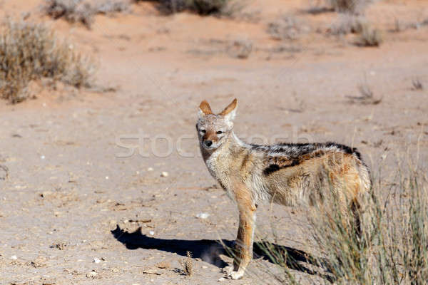 black-backed jackal (Canis mesomelas) Stock photo © artush