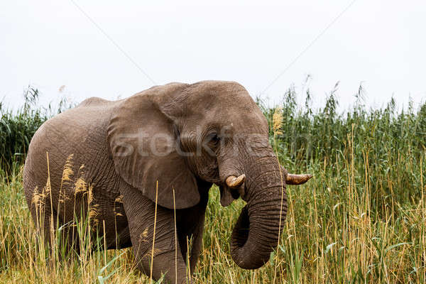 African Elephant in Etosha national Park Stock photo © artush
