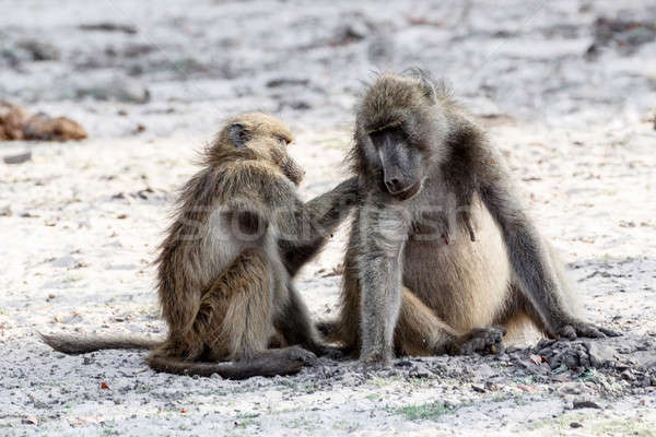 Chacma Baboon grooming Stock photo © artush