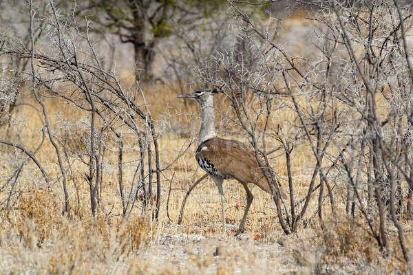 アフリカ 茂み 公園 ナミビア アフリカ 自然 ストックフォト © artush
