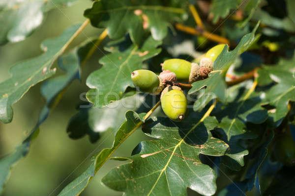 Rovere ghianda verde autunno colori foglie Foto d'archivio © artush