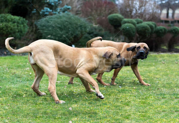 female of Fila Brasileiro (Brazilian Mastiff) Stock photo © artush