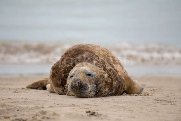 atlantic Grey Seal portrait Stock photo © artush