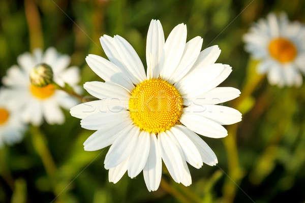 Beyaz çiçekler sığ odak çiçek Stok fotoğraf © artush