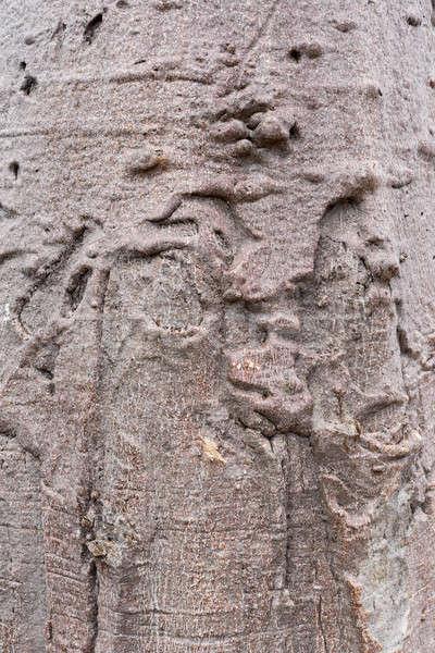 baobab texture Stock photo © artush