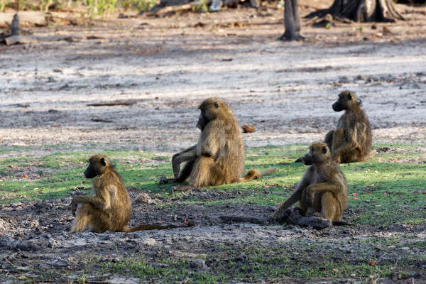 family of Chacma Baboon Stock photo © artush