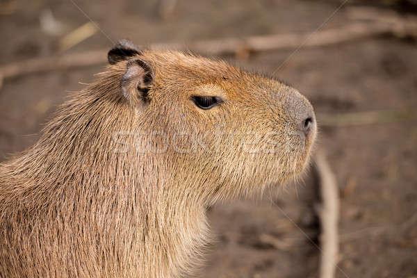 Close up photo of Capybara Stock photo © artush