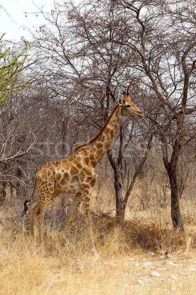 Giraffa camelopardalis in etosha Stock photo © artush