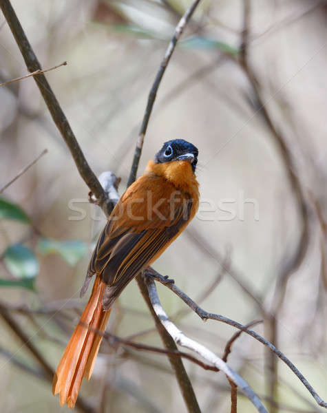 beautiful Madagascar bird Paradise-flycatcher Stock photo © artush