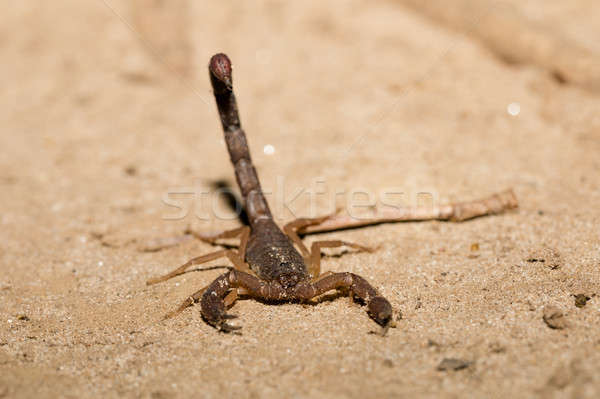 Scorpions, predatory arachnids Madagascar Stock photo © artush