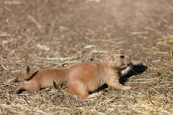 Stock fotó: Préri · kutyák · rágcsáló · család · nagyszerű · alföld