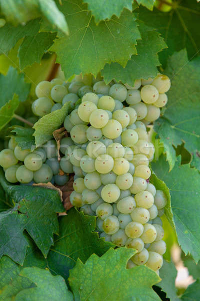 grape wine on Palava Vineyards, Czech Republic Stock photo © artush