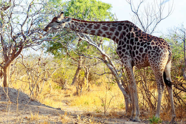 Felnőtt zsiráf fa játék tartalék tavasz Stock fotó © artush