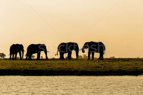 African Elephant in Chobe National Park Stock photo © artush