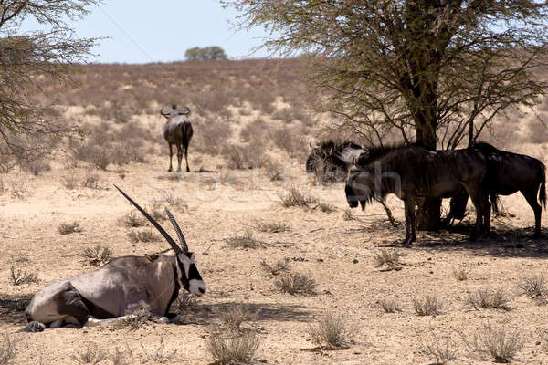 Gemsbok, Oryx gazella and Gnu in african bush Stock photo © artush