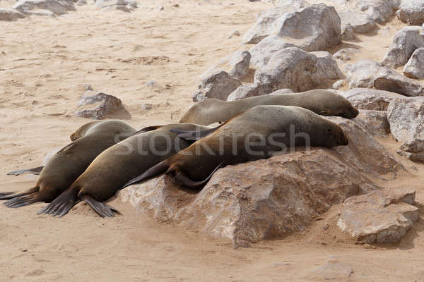 sea lions in Cape Cross, Namibia, wildlife Stock photo © artush