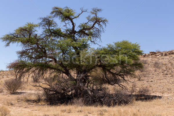 kgalagadi transfontier park Stock photo © artush