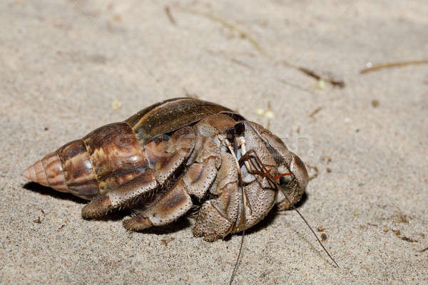big hermit crab with snail shell Madagascar Stock photo © artush