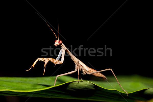 praying mantis on leaf, Madagascar Stock photo © artush