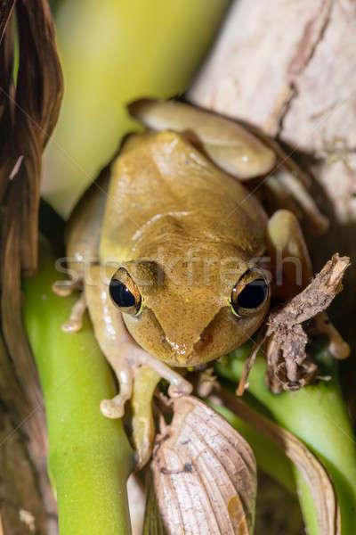 Belle faible grenouille Madagascar espèce Photo stock © artush
