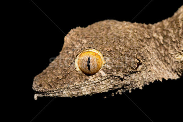 Giant leaf-tailed gecko, Uroplatus fimbriatus, Madagascar Stock photo © artush