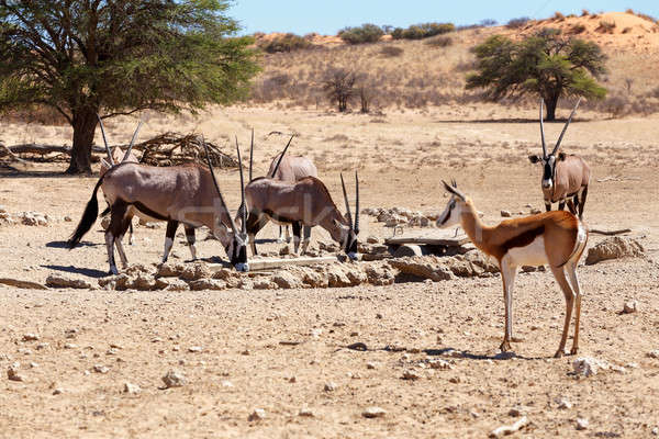 herd of Gemsbok, Oryx gazella and springbok on waterhole, focus to oryx Stock photo © artush