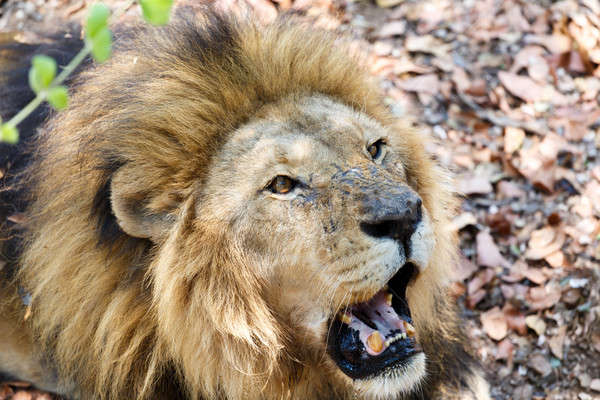 Portrait of Lion with open mouth shoving big teeth.  Stock photo © artush
