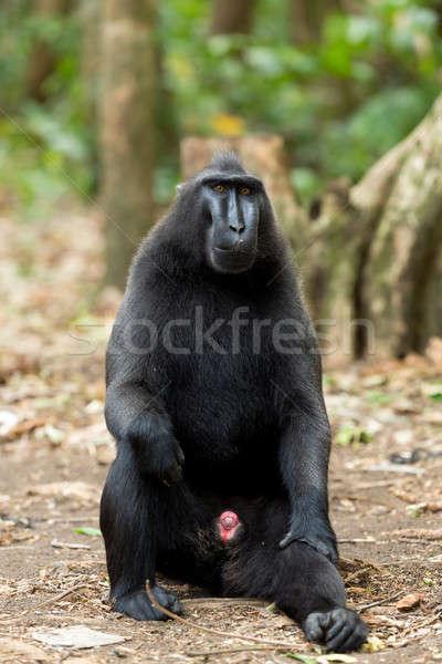 Celebes crested macaque, Sulawesi, Indonesia Stock photo © artush