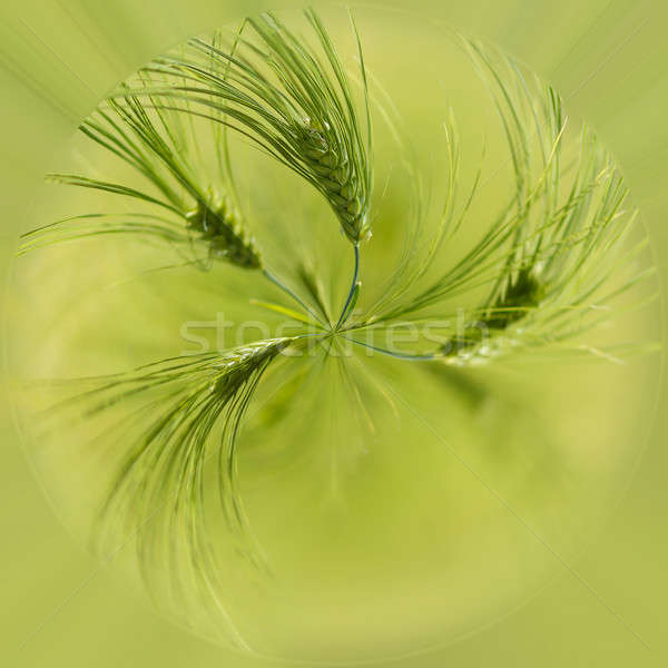 Organic Green spring grains with shallow focus Stock photo © artush