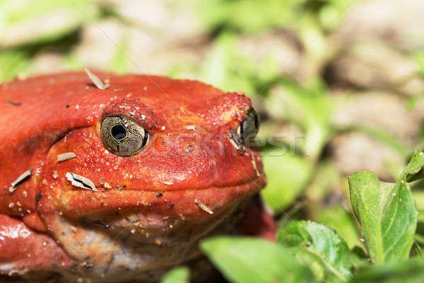Grand rouge tomate grenouille espèce peuvent Photo stock © artush