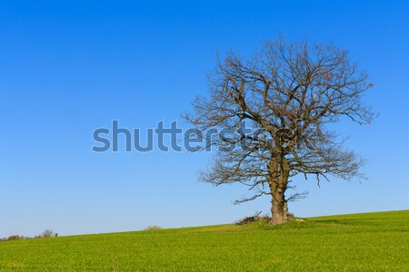 alone spring tree on a green meadow with blue sky Stock photo © artush