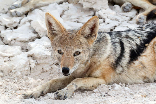 Stock photo: black-backed jackal (Canis mesomelas) lying in Etosha park
