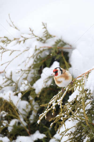 Pequeno pássaro europeu inverno jardim Foto stock © artush