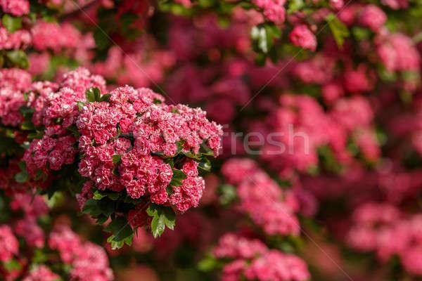 Kwiaty różowy drzewo naturalnych kwitnienia wiosna Zdjęcia stock © artush