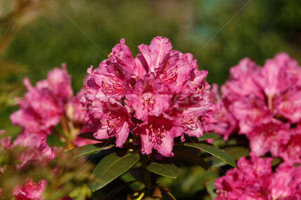 Pink rhododendron azalea blooms in spring garden Stock photo © artush