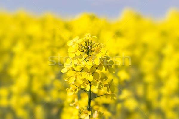 Close up of a Rape field Stock photo © artush