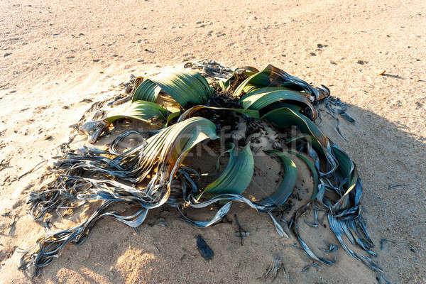 Elképesztő sivatag növény élet kövület példa Stock fotó © artush