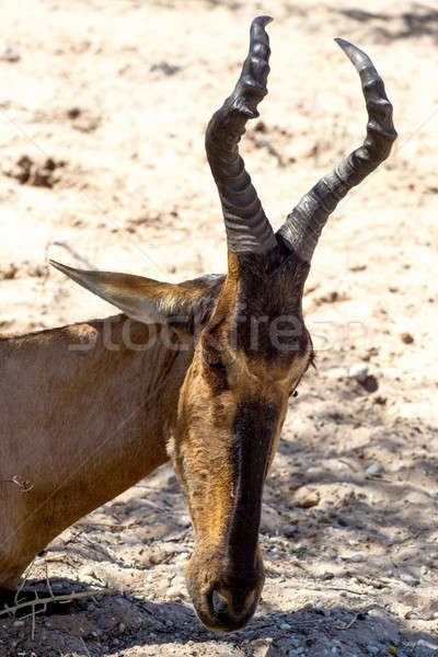 A Tsessebe (Damaliscus lunatus) stood facing the camera Stock photo © artush