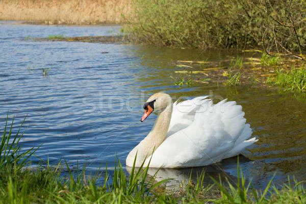 Kısmak kuğu kuş su tek başına Çek Cumhuriyeti Stok fotoğraf © artush