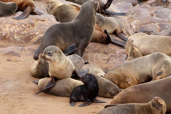 Small sea lion baby in Cape Cross Stock photo © artush
