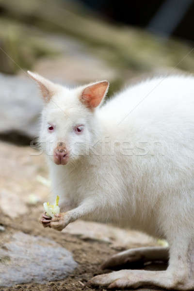 Closeup of a Red-necked Wallaby white albino female Stock photo © artush
