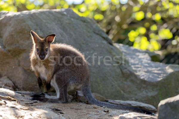 Closeup of a Red-necked Wallaby baby Stock photo © artush