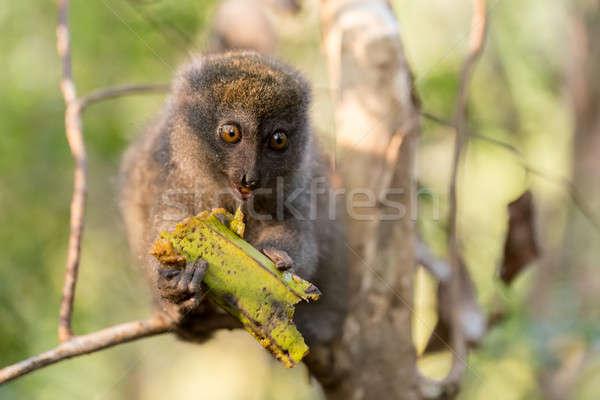 Eastern lesser bamboo lemur (Hapalemur griseus) Stock photo © artush