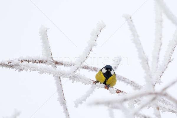 красивой небольшой птица Тит зима Сток-фото © artush