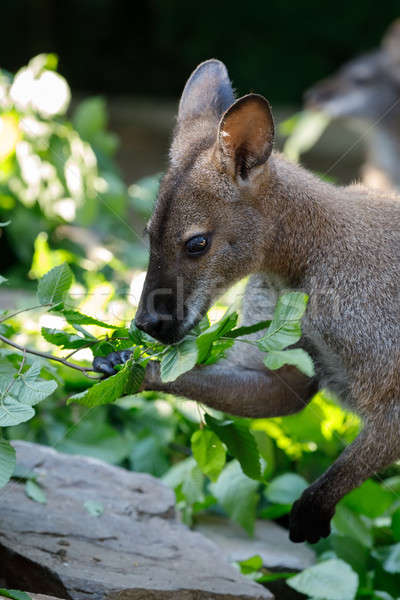 Red-necked Wallaby kangaroo baby graze Stock photo © artush