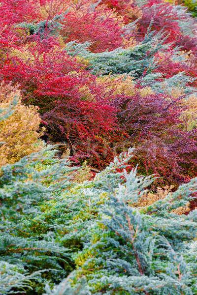 Jesienią kolory ogród piękna kolorowy dekoracyjny Zdjęcia stock © artush